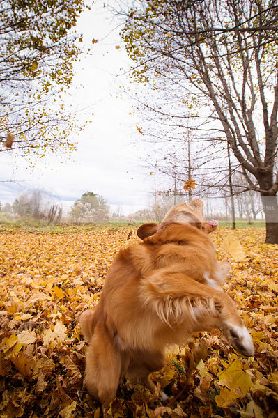 fun dog spinning turning catching leaves in autumn