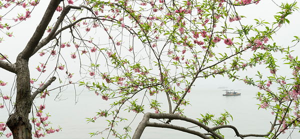 Willow and peach blossom,