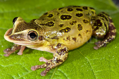 Shovel-nose tree frog (Triprion spatulatus) photos