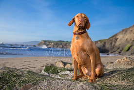 Majestic Red Vizsla Dog with Serious Expression Sitting on Rock at Beach  under Blue Skies with Cliffs in Background