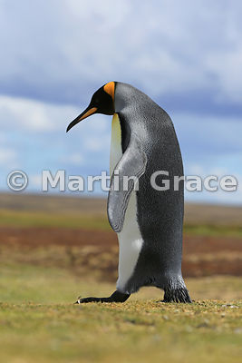 King Penguin (Aptenodytes patagonicus), Volunteer Point, East Falkland, Falkland Islands