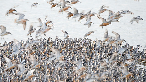 Red Knot Calidris canutus at high tide roost on pit at Snettisham RSPB Reserve at The Wash Norfolk August