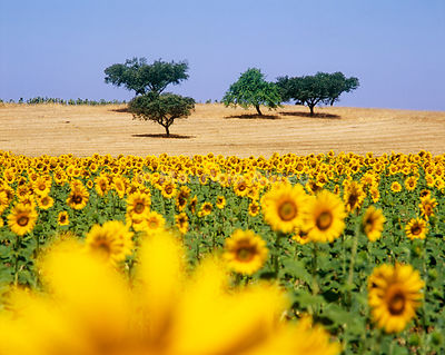 Cork trees and sunflowers in the vast plains of Alentejo, Portugal