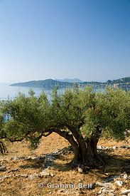 Olive trees, Meganisi Island, Lefkas, Ionian Islands, Greece