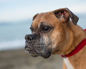 Close-up of Tan Boxer Dog in Profile