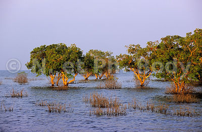 CAMBODGE, KOMPONG PHHLUC, FORET IMMERGEE//CAMBODIA, KOMPONG PHHLUC, FLOODED FOREST