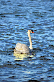 Swan_on_Lake_Bracchia