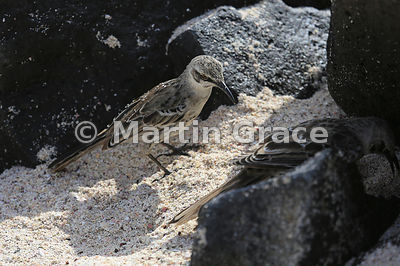 Hood Mockingbird juvenile (Nesomimus macdonaldi) waiting while its parent finds food among the rocks on the shore, Punta Suarez, Espanola, Galapagos