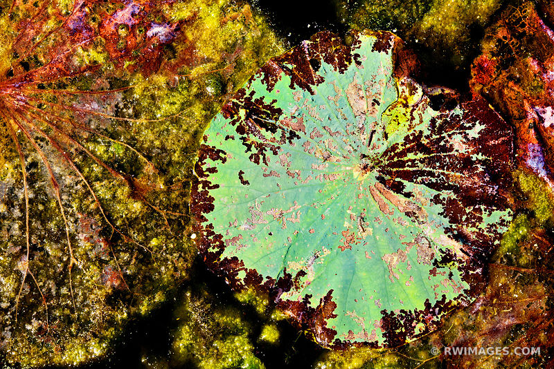 NATURE ABSTRACT BOTANICALS WATER POND BRAZOS BEND STATE PARK TEXAS COLOR