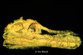 3D CT Scans of the skull of dinosaur Sue