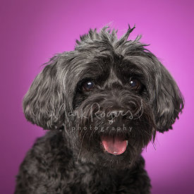 Black Schnauzer Mix Dog Against Purple Studio Background