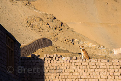 A street dog sits atop a mud brick wall in Leh, Ladakh, India
