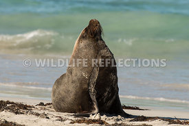 sea_lion_australian_wave_edge-11
