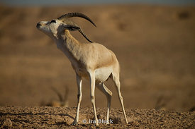 A Sand Gazelle found wandering on the wildlife reserve on Sir Bani Yas Island in Abu Dhabi. The Sand Gazelle is the most common animal found on Sir Bani Yas Island.