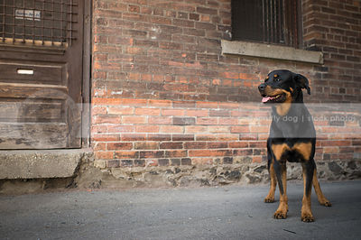 black and tan dog standing at urban brick wall with wood door