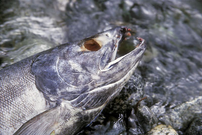 The silvery shell of a spawned chum salmon in the Great Bear Rainforest of British Columbia