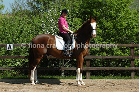 Ridden chestnut warmblood gelding