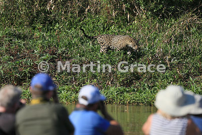 Male Jaguar (Panthera onca) known as Marley works his way along the side of the River Cuiabá while being watched by ecotourists, Northern Pantanal, Mato Grosso, Brazil