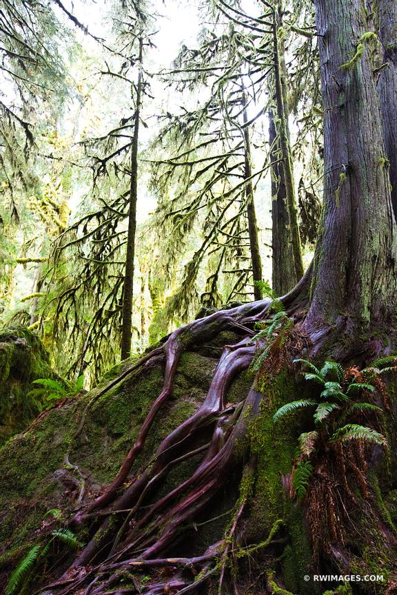 RAINFOREST MOSSY TREES MARYMERE FALLS TRAIL OLYMPIC NATIONAL PARK WASHINGTON