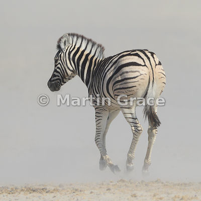Plains Zebra (Equus burchellii) running through dust, Andoni, Etosha National Park, Namibia