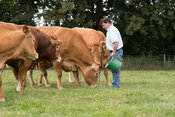 Farmer with herd of Limousin beef cattle, North Yorkshire, UK.