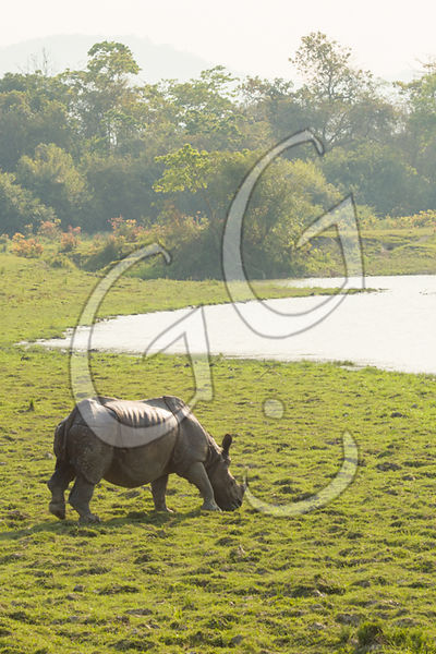 One Horn Rhino / Kaziranga, India