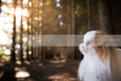 portrait of cute little toy breed dog in pine trees with sunshine