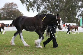 HOY_220314_Clydesdales_2364
