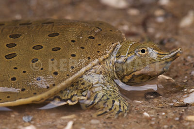 Spiny Softshell turtle (Apalone spinifera)  photos