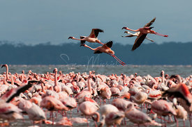 Flying flamingo over lake Nakuru