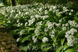 Wild Garlic (Ramsons) in flower along country lane Great Walsingham Norfolk May