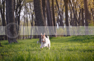 small white terrier dog running with ball in springtime grass
