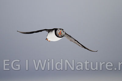 Atlantic puffin/Lunde - Norway