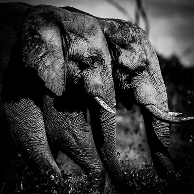 1780-Two_elephants_side_by_side_Laurent_Baheux