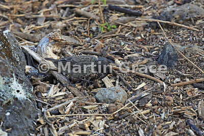 Medium Ground Finch female (Geospiza fortis), San Cristobal, Galapagos
