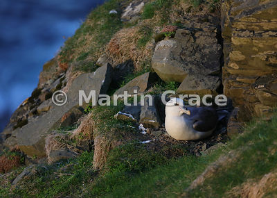 Evening sunlight spotlights a nesting Northern Fulmar (Fulmarus glacialis), Sumburgh Head, Mainland South, Shetland, Scotland