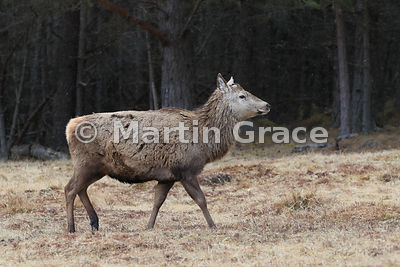 Red Deer stag (Cervus elaphus) after shedding its antlers, April 3, on the edge of forestry, Sherramore Forest, Badenoch & Strathspey, Scottish Highlands