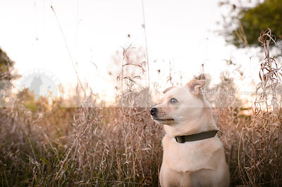 small blond dog sitting in tall dried grasses
