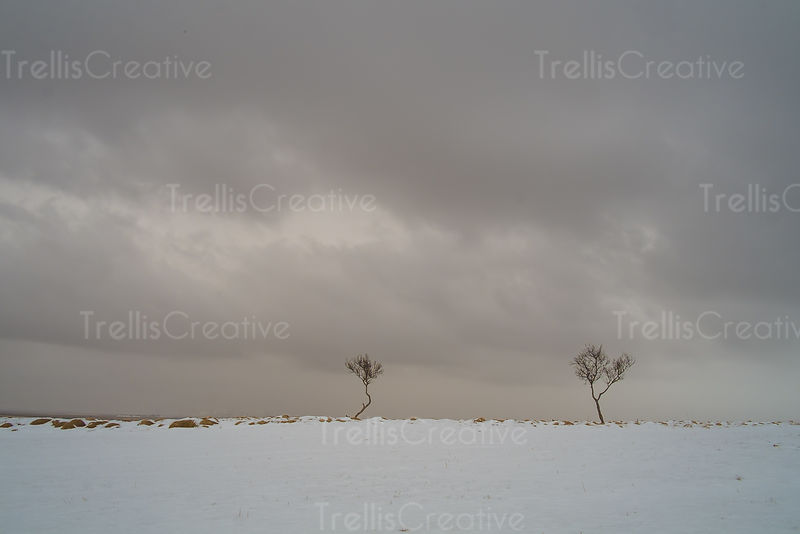 Two bare trees in a field covered in fresh snow