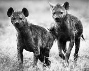 8951-Two_hyenas_looking_at_you_Kenya_2006_Laurent_Baheux