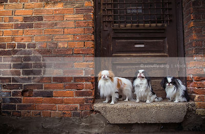three little dogs standing on doorsill at urban brick wall