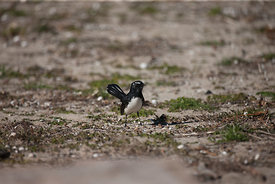 Wiilie Wagtail