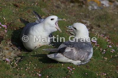Pair of Northern Fulmars (Fulmarus glacialis) interacting on cliff-top turf, Sumburgh Head, Mainland South, Shetland, Scotland