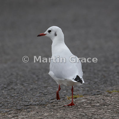 Black-Headed Gull (Larus ridibundus) in adult non-breeding (winter) plumage, Knowsley, England