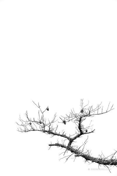 PINE TREE BRANCH ASSATEAGUE ISLAND NATIONAL SEASHORE MARYLAND BLAXCK AND WHITE