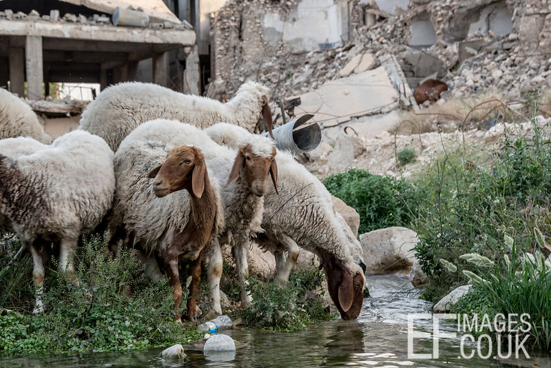 Sheep taking a drink of spring water amid the destruction of Sinjar City Old Town. Iraq, May 2017