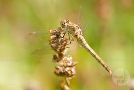 Immature Common Darter Dragonfly: