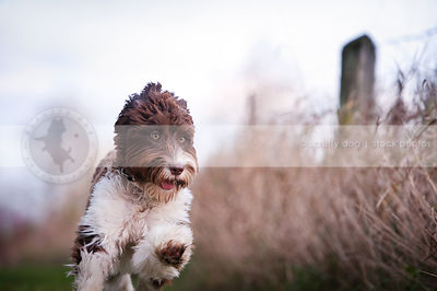 brown and white groomed dog running toward camera