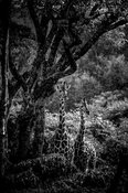 1700-Two_giraffes_hidden_in_the_bush_Laurent_Baheux.