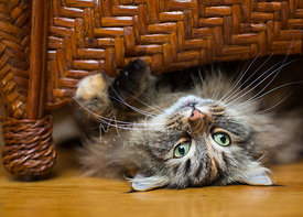 longhaired tabby playing upside down under wicker ottoman